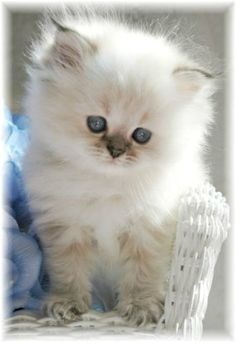 """Misia"" Blue Lynx Point Toy Himalayan Kitten - so fluffy! Cute Kittens, Kittens And Puppies, Fluffy Kittens, Ragdoll Kittens, Bengal Cats, Animals And Pets, Baby Animals, Funny Animals, Pets"