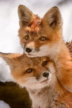 Foxes. How wonderful.