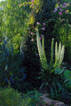 Echium simplex and Rosa Gigantea 'Follette' in the evening light - La Pietra Rossa, Italy -  Photo & design Maurizio Usai