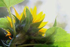Sunflower by MiiaMatikkala #nature #mothernature #travel #traveling #vacation #visiting #trip #holiday #tourism #tourist #photooftheday #amazing #picoftheday