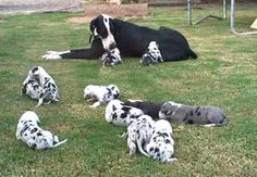 great dane puppies!
