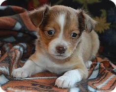 Westminster, MD - Rat Terrier/Chihuahua Mix. Meet Lipper, a puppy for adoption. http://www.adoptapet.com/pet/17228972-westminster-maryland-rat-terrier-mix