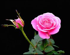 Pink rose on black.