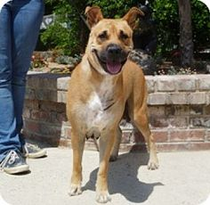 Lathrop, CA - American Bulldog/Shar Pei Mix. Meet Penny, a dog for adoption. http://www.adoptapet.com/pet/13465244-lathrop-california-american-bulldog-mix