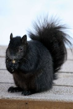 Black Squirrels were imported to Kent, OH from Canada. Love seeing Black Squirrels in Leland.: