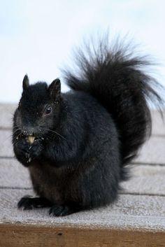 Black Squirrel. Source