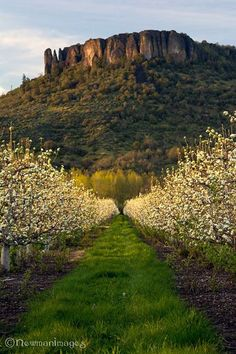 Lower Table Rock rises above a pear orchard in southern Oregon's Rogue Valley - by Jay Newman, NewmanImages Photography Oregon Nature, Northwest Usa, Wedding Venues Oregon, Visit Oregon, Table Rock, Oregon Usa, Oregon Travel, Go Hiking, Honeymoon Destinations