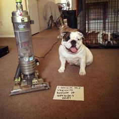 Hall of Shame | BaggyBulldogs. My girl HATES the vacuum. It comes out and she can't hide fast enough.