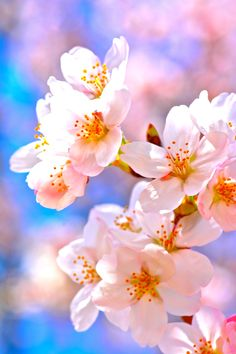 Bloom cherry blossoms! by Shin Yamanobe on 500px