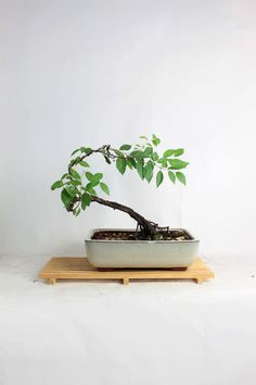 "Japanese Plum Bonsai Tree ""Summer Fruit Collection by LiveBonsaiTree"" by LiveBonsaiTree on Etsy"