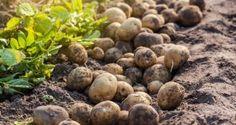 Má zmysel predklíčovať hľuzy zemiakov? Blueberry, Beans, Fruit, Vegetables, Berry, Vegetable Recipes, Blueberries, Beans Recipes, Veggies