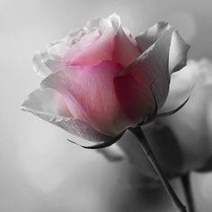 A soft lite of rose
