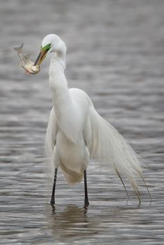 Great Egret Fishing Series.  Click to see the whole series