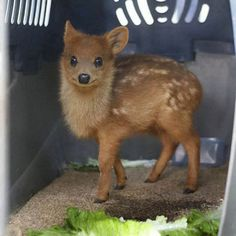 The Pudu Deer is the world's smallest deer. They live in bamboo thickets to hide from predators.