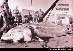 Esturgeon géant - Giant sturgeon #Animaux #Etrange #Bizarre #Strange #Animal