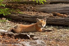 Fox Kit Relaxing by Steve Dunsford on 500px
