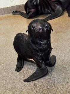 It's a girl! Newborn fur seal pup at the New England Aquarium.