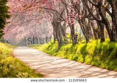 Beautiful cherry blossom, Chiang Mai, Thailand by aiaikawa, via ShutterStock