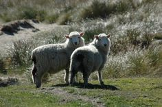Sheep wool has been used for over centuries and is well-known for its excellent insulating qualities. Sheep wool is comfortably warm, fire resistant, water and dirt repellent, crease resistant and durable. Wool Insulation, Sheep Wool, Scarves, Fire, Natural, Water, Animals, Scarfs, Gripe Water