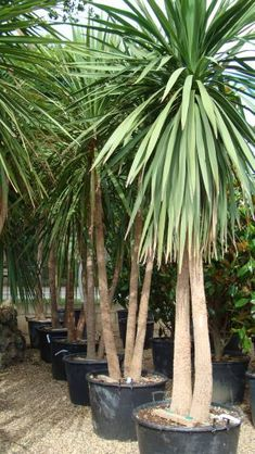 If you want to have a tree in your garden that looks like a tropical palm tree but isn't, have a look at the cordyline australis, the cabbage palm tree. Suitable for cooler climates, this tree will make a wonderful addition to your garden. Palm Trees Landscaping, Backyard Pool Landscaping, Tropical Landscaping, Tropical Garden, Tropical Plants, Landscaping Ideas, Yucca Tree, Yucca Plant, Garden Trees