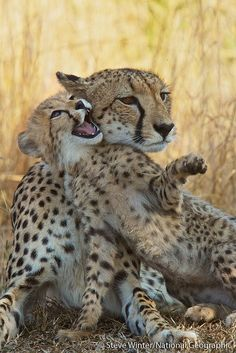 A female cheetah and her playful cub - Phinda Private Game Reserve, South Africa...