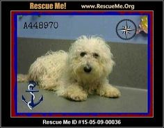 Urgent: This animal could be euthanized if not adopted within the next few days. Animal ID: A448970URGENT 5/15 (male) Havanese Mix Age: Young Adult Health: Needs to be Neutered, Vaccinations Current ID#A448970 I am described as a male, white Havanese mix. The shelter thinks I am about 2 years. I have been at the shelter since May 08, 2015 and I may be available for adoption on May 15, 2015 at 3:36PM. If you are interested in me, please visit me before this date. Animal Location: Moreno…