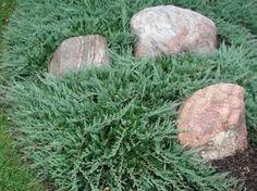 Juniperus Horizontalis 'Bar Harbor' - Marcel Lavallière .Paysagiste. Conifère dioïque à feuillage persistant en forme d'écailles, odorantes, vert grisâtre teinté de bleu en été,  pourpre foncé à l'automne à texture fine et au port rampant. Les rameaux de cette plante ont tendance à se marcotter facilement au contact du sol.