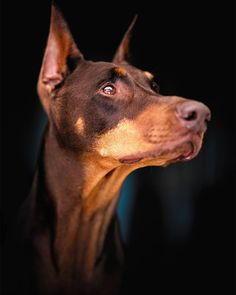 Nothing better than a classic profile pose. . . Sony a7iii Nikon 105mm 1.4 1/1600 f2 iso800 . #mymuse #camerareadyalw... Mans Best Friend, Best Friends, Animals And Pets, Cute Animals, Doberman Pinscher, Drawing Reference, Dog Love, Nikon, Sony