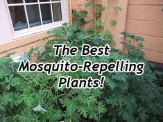 Citronella Plants - And Other Plants That Repel Mosquitoes