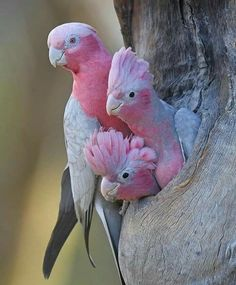 Bird Birds : Pink Parrots peeping out from a tree. Source by ilovehuskyed animals animals beautiful Bird Birds ilovehuskyed Parrots peeping Pink Source tree Cute Birds, Pretty Birds, Beautiful Birds, Animals Beautiful, Funny Birds, Beautiful Pictures, Beautiful Family, Exotic Birds, Colorful Birds