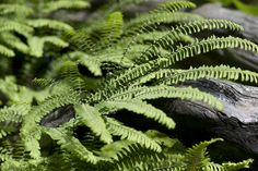 Northern Maidenhair Fern - Adiantum pedatum - tarha-adiantumi