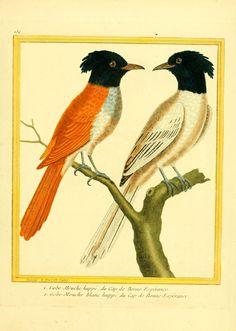 gravures oiseaux Buffon- - Gravures oiseaux Buffon 234 - gobe-mouche blanc huppe du cap de bonne esperance - Gravures, illustrations, dessins, images