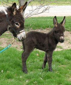 Mini Donkey, Baby Donkey, Cute Donkey, Miniature Donkey, Farm Animals, Animals And Pets, Cute Goats, Super Cute Animals, Wild Dogs