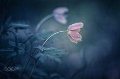 Fourth wood anemone... - Fourth wood anemone...