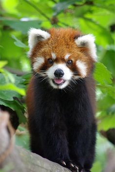 This is Dave, a (very happy) Red Panda. The reason he's delighted is that Dave…