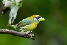 Red-headed Barbet female (Eubucco bourcierii)