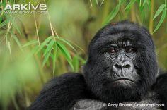 Female mountain gorilla Gorilla Gorilla, Primates, Mammals, Mountain Gorilla, Beautiful Forest, Endangered Species, Beautiful Creatures, Rainforests