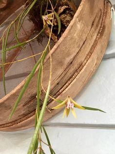 Australian Native Orchid on vintage garden sieve at Rust Emporium