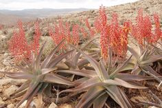 Red spikes of the endemic Socotran aloe (Aloe perryi) contain healing powers and can be found only on Socotra and Samha.