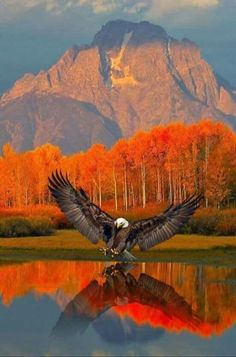 Eagle - Beautiful reflection on the water w/the scenery. Eagle - Beautiful reflection on the water w/the scenery. Beautiful Birds, Animals Beautiful, Beautiful Places, Beautiful Scenery, Cool Pictures, Cool Photos, Beautiful Pictures, Nature Pictures, Wild Life
