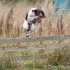 Up & over... A GSP retrieves a partridge. #gsp #germanshorthairedpointer #dogphotosuk