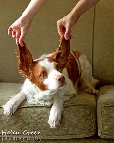 Brittany spaniel  Looks like Drake and Griff put together <3