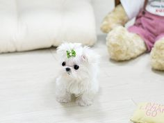 Adorable Timmy ~ 5 Month Old Micro teacup Maltese Male Available!