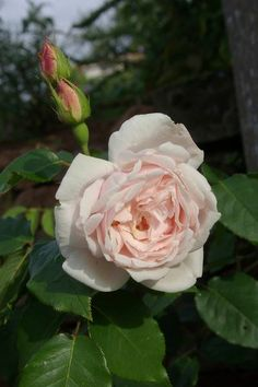 Rosa 'Madame Alfred Carrière'  (France, 1875)