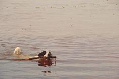👌 New free photo at Avopix.com - Black and White Short Coated Dog With Twig in It's Mouth Floating on Water    ➡ https://avopix.com/photo/46506-black-and-white-short-coated-dog-with-twig-in-it-s-mouth-floating-on-water    #duck #bird #aquatic bird #animal #ruddy turnstone #avopix #free #photos #public #domain