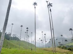 tall palm tree climbing myanmar - Google Search