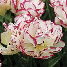 Belicia Tulip - Pack of 10