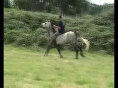 Boris, caballo entero de Pura Raza Arabe, perteneciente a Ricardo M.B., adiestrador del Centro de Adiestramiento La Fuente, realizando ejercicios de doma natural o doma sioux.