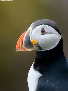 Color ... puffin