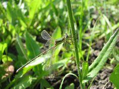 Dragonfly | Ischnura elegans